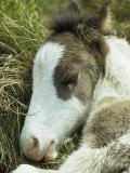 Portrait of a Wild Pony Foal Sleeping