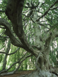 A Weeping Beech Tree Over 100-Years-Old