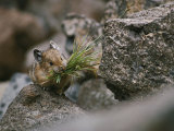 Carrying a Mouthful of Grass  a Pika Balances on a Rock