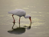 A White Ibis Sticks His Beak in the Water Looking for a Meal