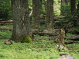 A Fox Sits in a Green Woodland