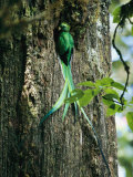 Male Resplendent Quetzal Bearing Food for its Nestlings
