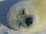 Resting Gray Seal Pup