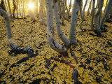 Aspen Trees Stand Above a Carpet of Fallen Leaves