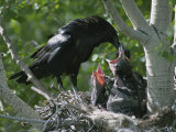 An Adult Raven Feeds a Group of Hungry Chicks