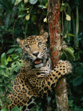 A Jaguar Sharpens it Claws on a Tree Trunk