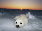 A Juvenile Gray Seal Pup Rests as the Sun Begins to Rise over the Snowy Landscape