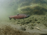 A Chinook Salmon Fish  Also Known as King Salmon  Swims Upstream to Spawn