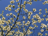 Pacific Dogwood Blossoms in a Lacy Pattern against a Blue Sky