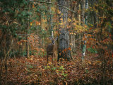 A White-Tailed Deer in an Upland Hardwood Forest