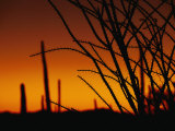 A Flaming Orange Sky Silhouettes Ocotillo and Saguaro Cacti