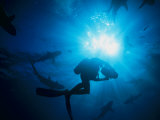 Sunlight Silhouetting a Diver Swimming About with a Group of Sharks