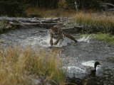Mountain Lion Hunts a Mallard Duck in a Creek