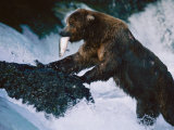 A Grizzly Bear with a Freshly Caught Salmon in its Mouth Climbs up onto a Rock