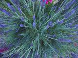 Lavender Bush and Flowers