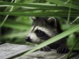 A Raccoon Peers over the Side of a Wooden Dock