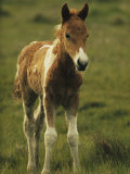 Portrait of a Young Wild Pony Foal
