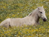 A Domestic Horse Rests in a Meadow of Little Yellow and White Flowers