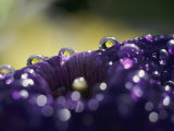 A Close-up of Water Droplets on a Purple Flower