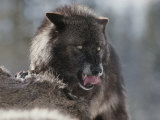 Gray Wolf Licks its Lips While Feasting on Mule Deer