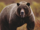 A Large Adult Grizzly Bear Faces the Camera