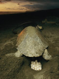 Olive Ridley Sea Turtle and Eggs  Which the Animal Lays after Digging a Hole in the Sand