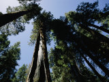 View Looking up the Trunks of Giant Sequoia Trees