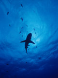A Silhouette of a Grey Reef Shark