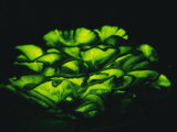 Jack-O-Lantern Mushrooms Glowing Green at Night