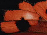 Detail from the Wing of a Kamehameha Butterfly