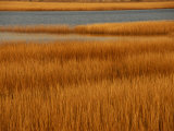 Salt Marsh with Cordgrass at Toms Cove on the Atlantic Ocean