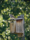 Common Kestrels Nest in a Bird House