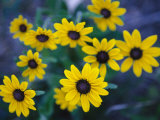 Close View of Black-Eyed Susan Flowers