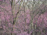 Redbud Trees in Springtime Bloom  Shenandoah Valley  Virginia