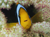 An Orange-Fin Anemonefish Shelters Among Sea Anemone Tentacles