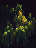 Sunlight Highlights Aspen Trees in Their Fall Colors Near Silverton