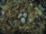 Glaucous-Winged Gull Nest with Three Eggs