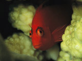 A Flame Hawkfish Peers from a Coral Hiding Place
