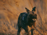 An African Wild Dog Bares its Teeth in Warning