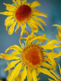 A Close View of Two Daisies