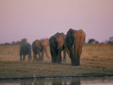 Elephants Roam the Plains of Moremi Game Reserve