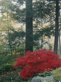 A Japanese Maple Tree