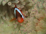 An Anemonefish Nestles Among Sea Anemone Tentacles