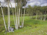 Aspen Trees  Shoshone National Forest  Wyoming