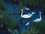 A Family of Trumpeter Swans Swims Near Denali National Park