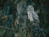 A Great Gray Owl Scouts for Prey in Yellowstone