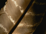 Magnified View of a Red-Tailed Hawk Feather