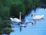 A Family of Trumpeter Swans Swims in the Water