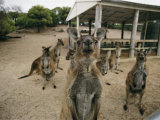 A Group of Kangaroos Look Confused