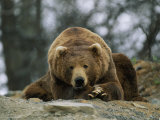 A Grizzly Bear at Rest on the Edge of the Larson Bay Dump